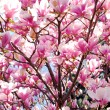 Blooming magnolia — Stockfoto