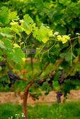 Grape vine — Stock Photo