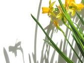 Daffodils and shadows — Stock Photo