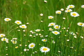 Wild daisies — Stock Photo