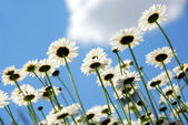 Daisies with blue sky — Stock Photo