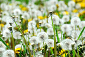 Seeding dandelions — Stock Photo