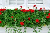 Geraniums on window — Stock Photo