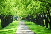 Green tree lane — Stock Photo