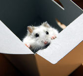 Hamster in a box — Stock Photo