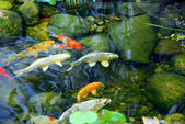 Koi pond — Stock Photo