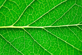 Green leaf macro — Stockfoto