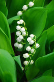 Lily-of-the-valley closeup — Stock Photo