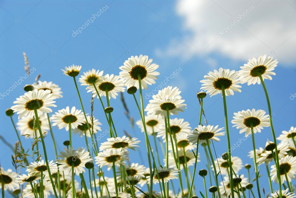 Summer daises with blue sky landscape — Stock Photo #6980413