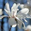 Magnolia flower — Stock Photo #7084961