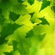 Green maple leaves - Foto de Stock
