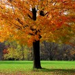Maple tree — Foto Stock