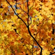 Maple leaves — Stock Photo #7084987