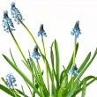 Blue spring flowers on white — Stockfoto