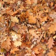 Fall oak leaves background — Stock Photo