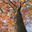Old oak tree in the fall 1 — Stock Photo