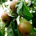 Pears — Stock Photo