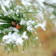 Snowy pine branch - Stock Photo