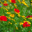 Poppies in a garden — Stock Photo