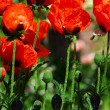 Stock Photo: Island poppies
