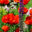 Spring garden with poppies - Stock Photo