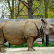 Rhinoceros — Stock Photo
