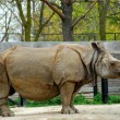 Rhinoceros — Stock Photo #7085182