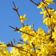 Spring bloom forsythia — Stock Photo