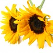 Sunflower white background — 图库照片