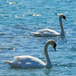 Pair of swans - Stock Photo