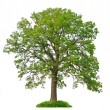 Isolated tree — Stock Photo #7085377