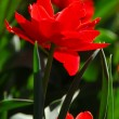Red tulip close - Stockfoto
