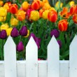Tulips white fence — Stock Photo