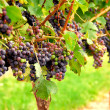 Red grapes — Stock Photo #7085427