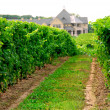 vignoble — Photo