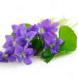 Violets on white background — Stock Photo