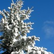 Winter fir under snow — Foto de Stock