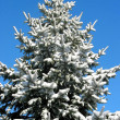 Winter fir under snow 1 — Stock Photo