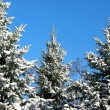 Winter fir trees under snow 1 - Foto Stock