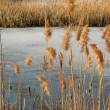 Reeds winter pond — Stock Photo