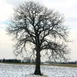 Tree in a winter field — Stock fotografie