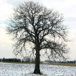 Tree in a winter field — Stok fotoğraf