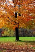 Drzewo klonowe — Zdjęcie stockowe