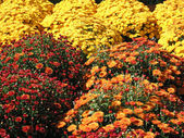 Colorful fall mums — Stock Photo