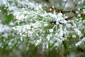 Snowy pine needles — Stock Photo