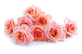 Pink roses on white — Stock Photo