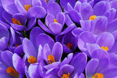 Purple crocus — Stock Photo