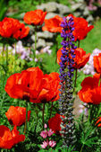 Spring garden with poppies — Stock Photo