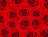 Red rose background — Stock Photo