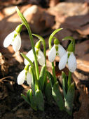 Blooming snowdrops — Stock Photo